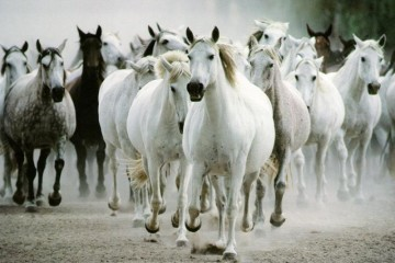 Lipizzaner horses Slovenia